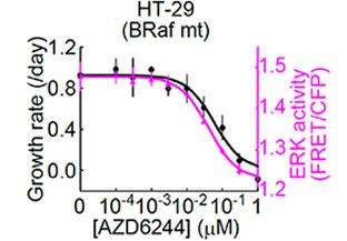 HT-29細胞におけるMEK1/2阻害剤(AZD6244)濃度依存的なERK活性と細胞増殖率の応答