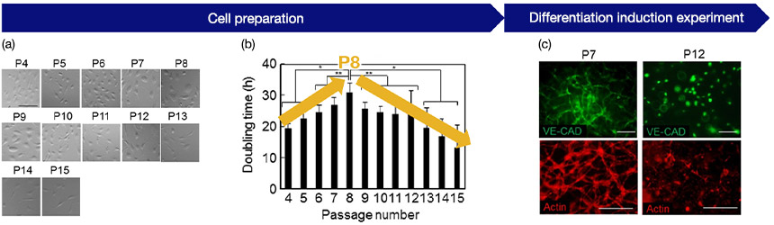 Fig.3 (a) Cell morphology by passage number: Recording image data at each passage, (b) Relationship between passage number and growth rate: It shows that the proliferation rate changes at P8, (c) Angiogenic potential and passage number of HUVEC: Shows successful angiogenesis at P7 and poor angiogenesis at P12
