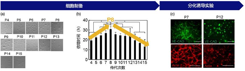 图3(a)通过传代次数表示的细胞形态:在每次传代记录图像数据,(b)传代次数与增长率之间的关系:其显示了P8处的增殖率发生变化,(c)HUVEC的血管生成潜力和传代次数:在P7处显示成功的血管生成,在P12处显示较差的血管生成