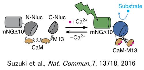 図1. 化学発光カルシウムイオンセンサーGeNL(Ca2+)_520の作動機作
