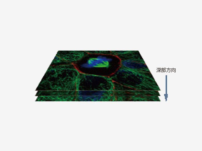 培養上皮細胞の分裂装置(微小管、Z01)