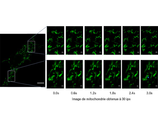 Mitochondrie étiquetée par GFP. Images acquises à 30ips; permet d'observer les mouvements individuels de la mitochondrie.