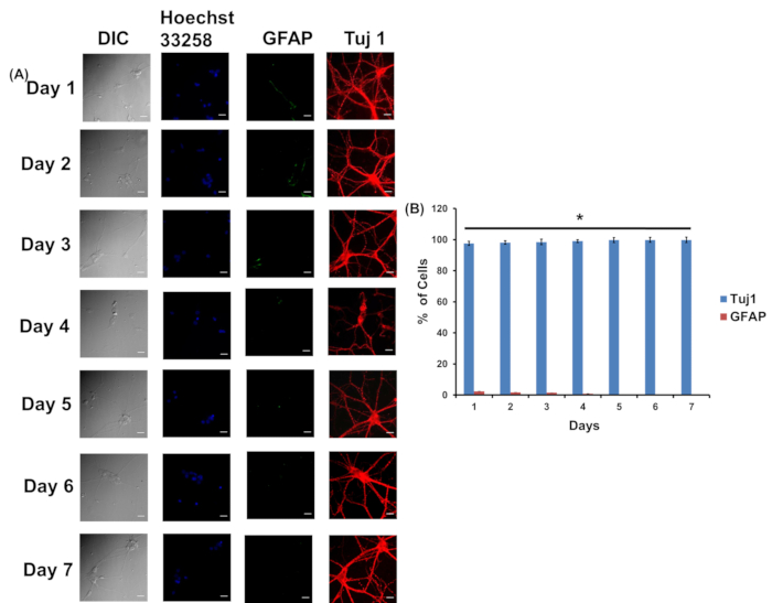 Figure 8: Characterization of low-density plated cells for primary neuron culture with neuronal marker Tuj1 and astrocyte marker GFAP continuously up to 7 days.
