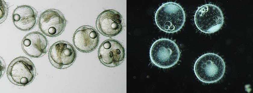 Oblique observation of medaka (left). Darkfield observation of medaka (right).