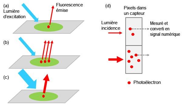 Figure 1 – De l'échantillon au signal numérique : (a) Une molécule cible marquée excitée émet de la lumière fluorescente. L'intensité lumineuse augmente avec le nombre de molécules cibles présentes dans l'échantillon (b) ou lorsqu'on applique une lumière d'excitation plus forte (c). L'intensité du signal est proportionnelle à l'intensité de la lumière incidente (d).