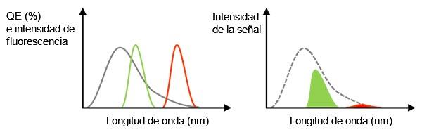 Figura 3 - Izquierda: línea gris que representa la QE de una cámara. Las líneas verdes y rojas indican el espectro de emisión de fluorescencia. Derecha: valor de la señal detectada que es igual al tamaño del área, representando un multiplicador de los espectros QE y de fluorescencia en la figura lateral izquierda. En este caso, incluso si la luz de fluorescencia tiene suficiente intensidad, la señal detectada podría ser débil para la fluorescencia roja debido a la baja QE.