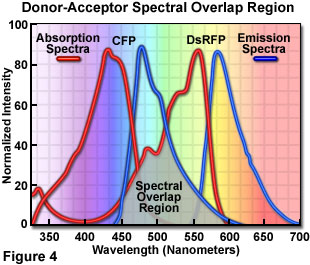 Confocal microscopy fret introductory concepts presented in figure 4 are the absorption and emission spectra of cyan fluorescent protein cfp the donor and red fluorescent protein rfp or dsred ccuart Image collections