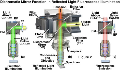 the essential feature of any fluorescence microscope is to provide a  mechanism for excitation of the specimen with selectively filtered  illumination