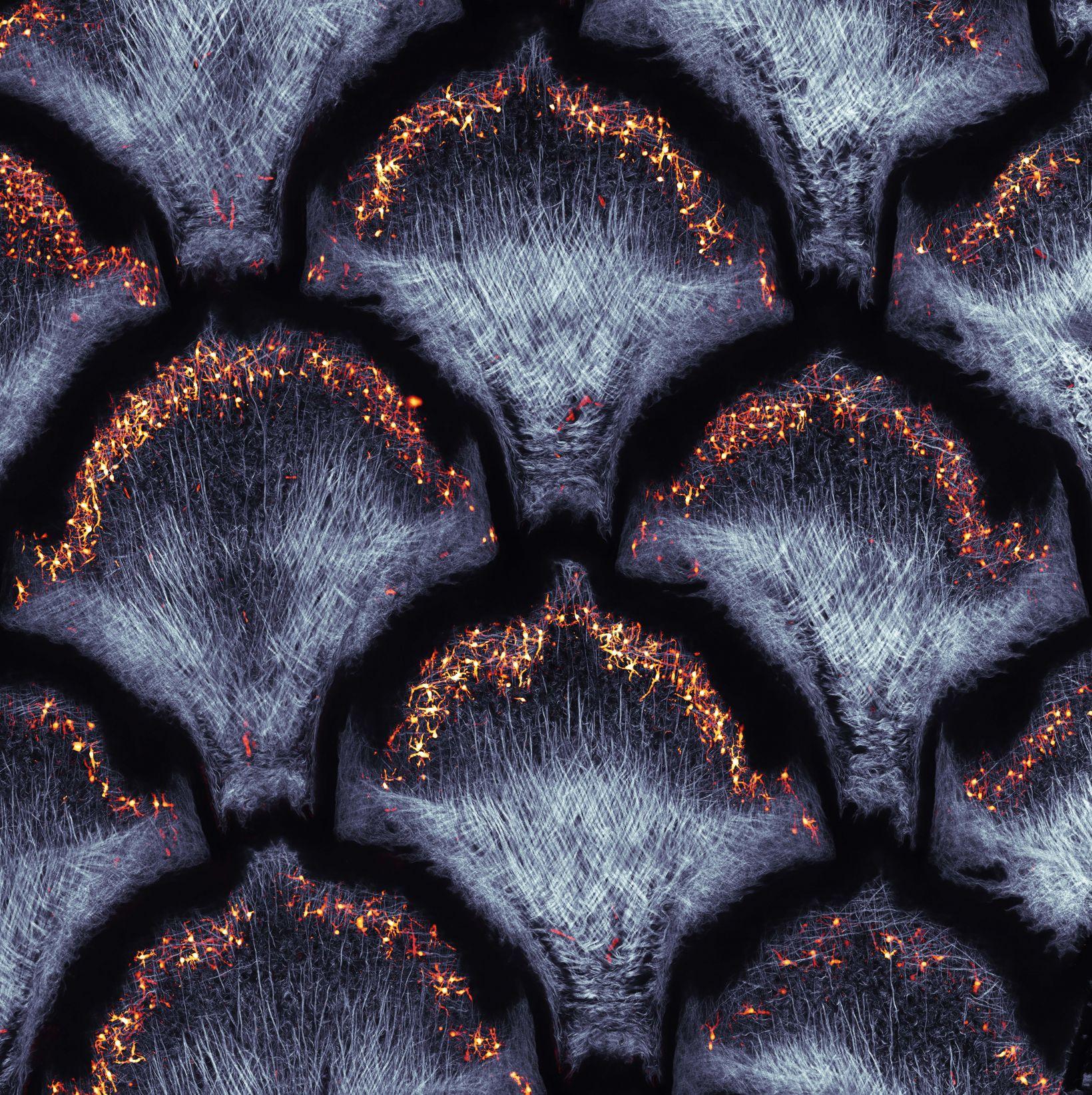 collagen fibers and dermal pigment cells of snakeskin