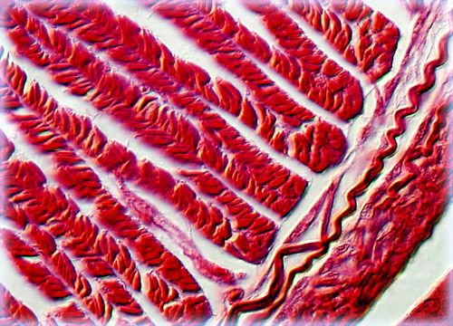 Earthworm Muscle Tissue